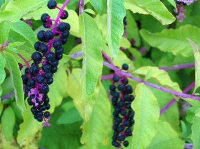 No, not elderberries, but the visual effect is similar