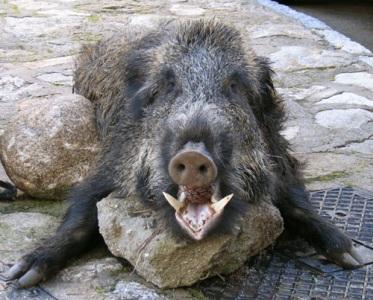 dead boar
