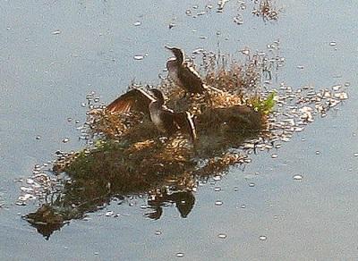 Cormorants on the Manzanares river, Feb. '09