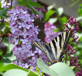 Swallowtail butterfly on lilac