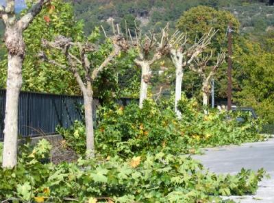 pruned plane trees