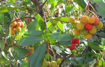 fruit on strawberry tree