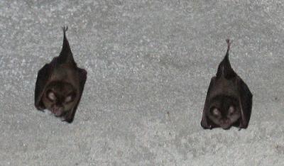 bats sleeping