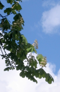 Horse chestnut flowers against clouds