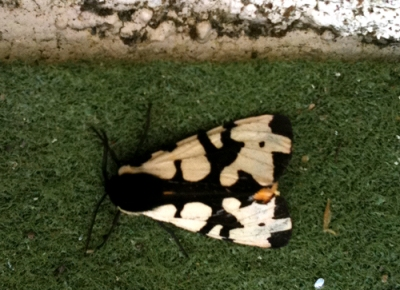 Black and cream moth