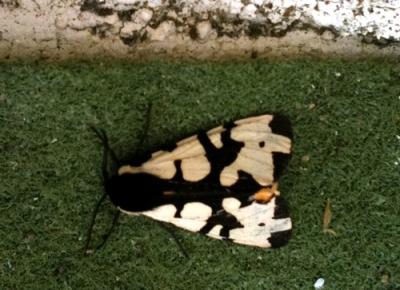 Black and cream moth