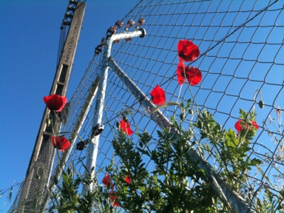 red poppies; blue sky; chain link fence