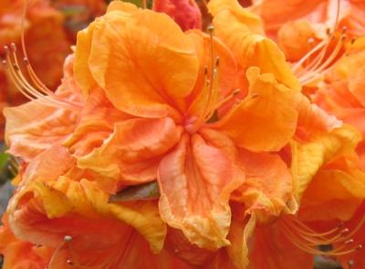 orange rhododendron flower