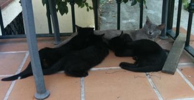 Grey mother cat & 3 black kittens suckling
