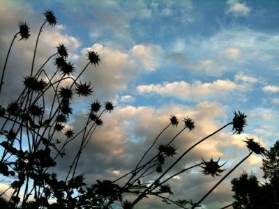 thistle star seedhead silhouettes