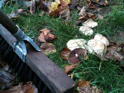 mushrooms growing in grass