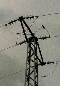 starling on pylon