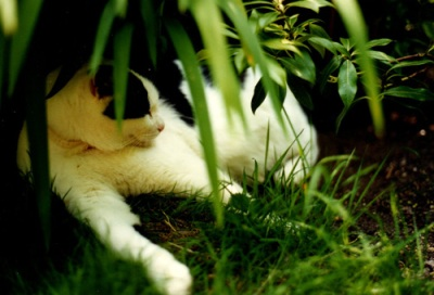 Algie: white & black cat in the undergrowth