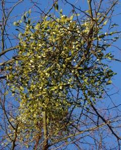 mistletoe close up