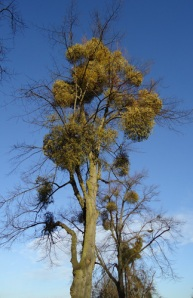 mistletoe in tree tops