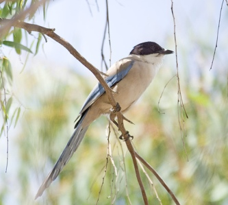 Azure-winged magpie - picture by Sergey Yeliseev