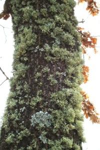 lichens on oak tree trunk