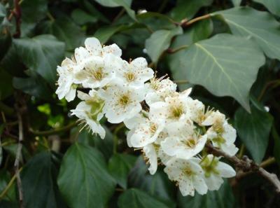 plum blossom close up