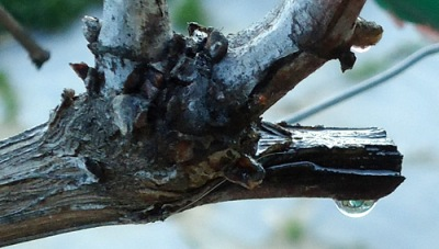 sap rising in vine