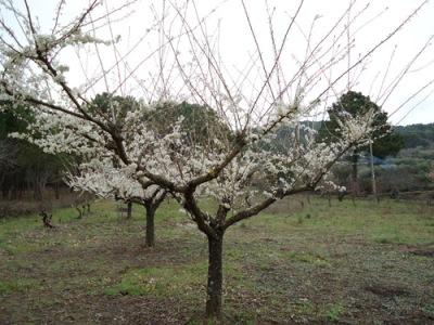 unpruned  plum trees in blossom