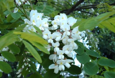 black locust tree blossom (white laburnum)