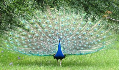 peacock with open tail