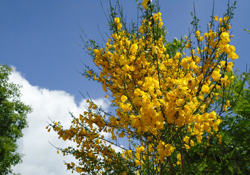 yellow broom flowers