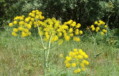 ferula flowerst