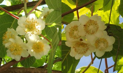 male kiwi flowers shown alongside female kiwi flowers