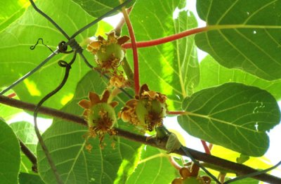 kiwi fruit in the early stages of development
