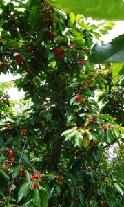 cherries ripening on the tree
