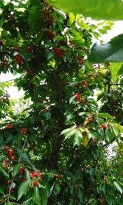 cherries ripening on the tree