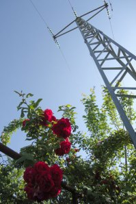 red rambling roses, electricity pylon, blue sky