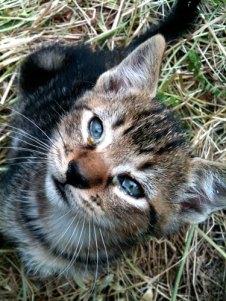 tabbby kitten