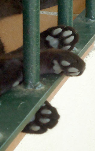 black cat paws