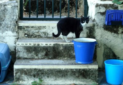 cat with blue buckets
