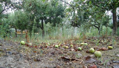 windfalls in the orchard