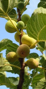 figs ripening on the tree