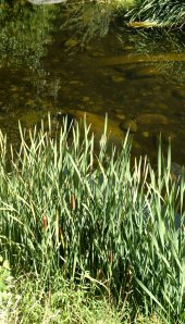 bullrushes by the river