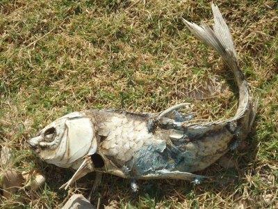 dead fish, embalse valdecañas