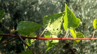ivy after rain