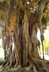 tree with hanging roots, Alicante
