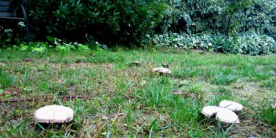 unidentified mushrooms in grass
