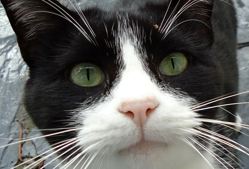 Tuxedo cat face close up