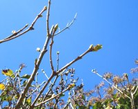 early lilac buds against blue sky