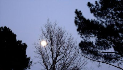 moon  behind bare tree with pines