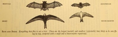 bat silhouettes compared to birds