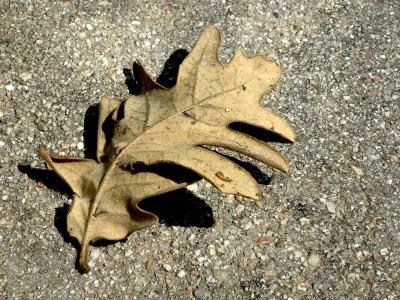 dead oak leaf