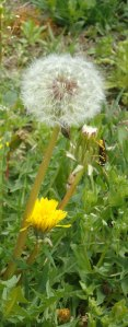 dandelion flower and clock