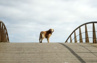 dog on bridge